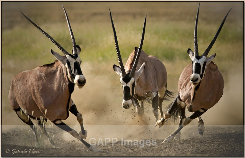 The seven most dangerous snakes in South Africa-1-three-gemsbok.jpeg