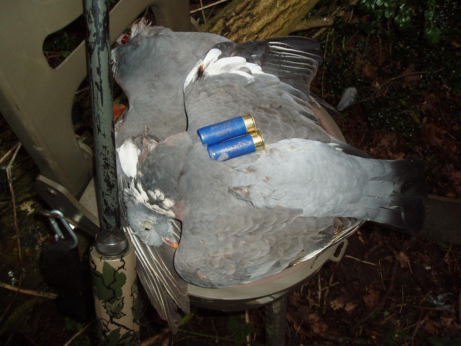 1st crack at the woodpigeon shooters forum