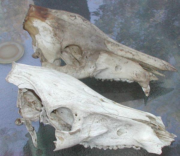 pig skulls!-2skulls.jpg