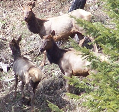 The seasons have almost arrived-3-28-05-elk-north-fork.jpg