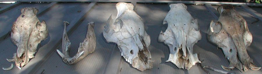 pig skulls!-4skulls.jpg