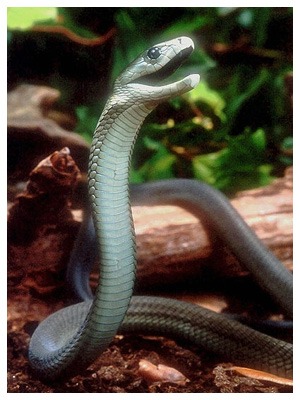 The seven most dangerous snakes in South Africa-7snakes_black-mamba.jpg