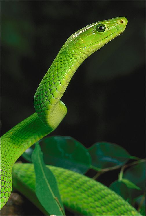 The seven most dangerous snakes in South Africa-7snakes_green-mamba.jpg