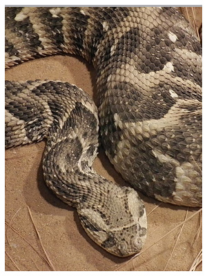 The seven most dangerous snakes in South Africa-7snakes_puff-adder.jpg