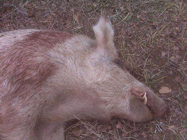 week-end pig fest-big-pig1.jpg