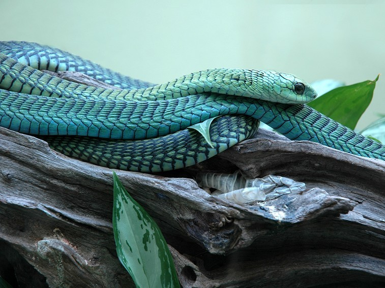 The seven most dangerous snakes in South Africa-boomslang_jfxeaqbh63vorhnrwcs4oomcjqoxpy7q62c4u66siw3t6qwph3oq_757x567.jpg