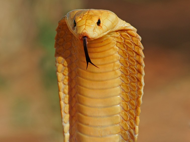 The seven most dangerous snakes in South Africa-cape-cobra_56meumu7myhja2c3jlqtpvouvuoxpy7q62c4u66siw3t6qwph3oq_757x567.jpg
