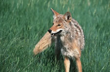PA Coyotes-coyoteat.jpg