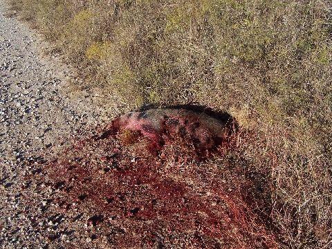 pig skulls!-dead-pig.jpg
