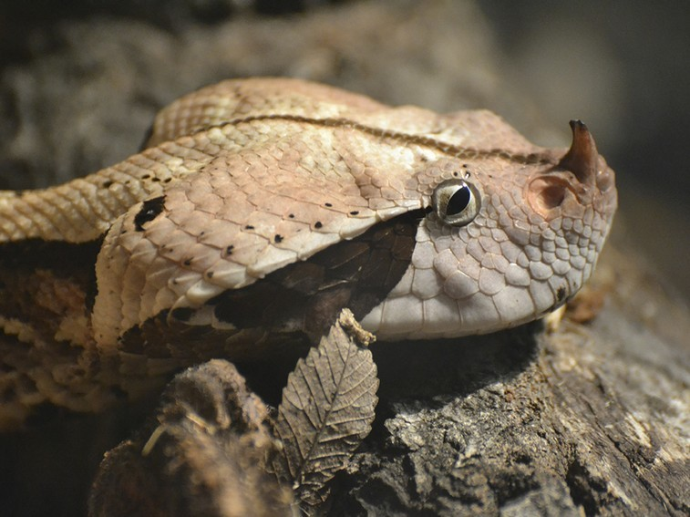 The seven most dangerous snakes in South Africa-gaboon-viper1_jfxeaqbh63vorhnrwcs4oomcjqoxpy7q62c4u66siw3t6qwph3oq_757x567.jpg