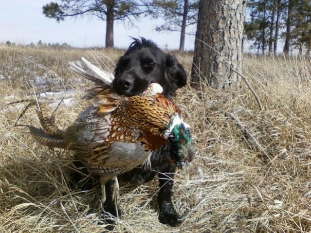 Opening day Nebraska Pheasant-gus-2012.jpg