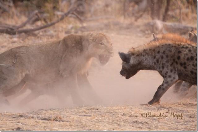 Rottweiler vs Pitbull who is better  Pitbull info and