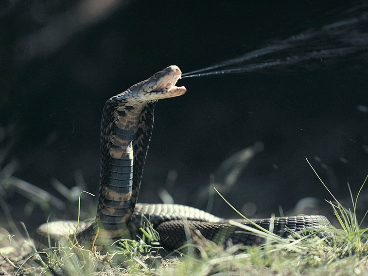 The seven most dangerous snakes in South Africa-mozambique-spitting-cobra1_jfxeaqbh63vorhnrwcs4oomcjqoxpy7q62c4u66siw3t6qwph3oq_757x567.jpg