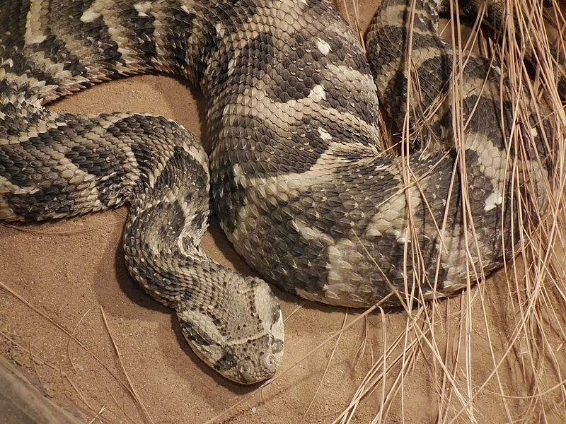 The seven most dangerous snakes in South Africa-puff-adder.jpg
