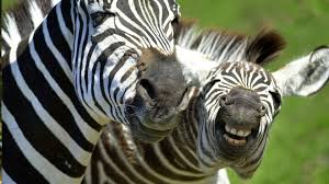 What's so hilarious?-zebra-i-told-him.jpg