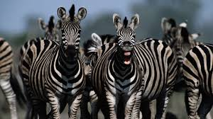 What's so hilarious?-zebra-i-told-him-joke-about.jpg