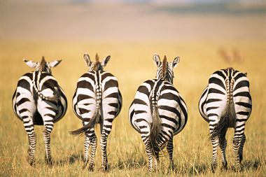 What's so hilarious?-zebra-rear-ends.jpg