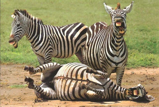 What's so hilarious?-zebra-whats-wrong-them.jpg