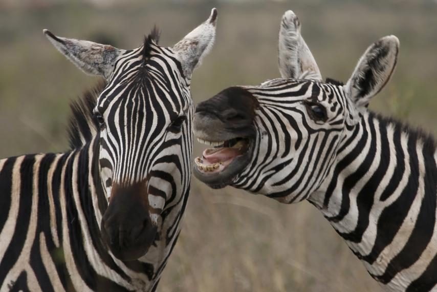 What's so hilarious?-zebras.jpg